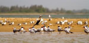 Charranes en Senegal